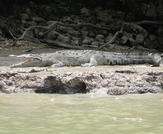 Cañón del Sumidero: Coccodrillo