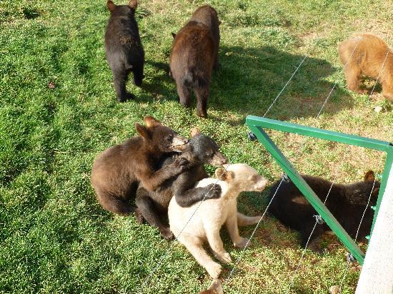 Bear Country USA: Community Ear Licking