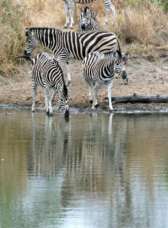 Singita Castleton: Zebra Crossing