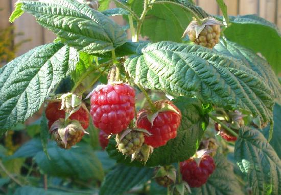 Oldfields Farm: Raspberries