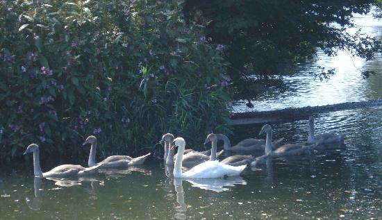 Oldfields Farm: Swans on nearby river