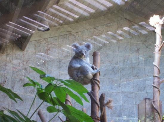 Columbus Zoo and Aquarium: One of the koalas
