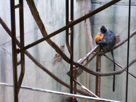 Columbus Zoo: Two week old baby Langur
