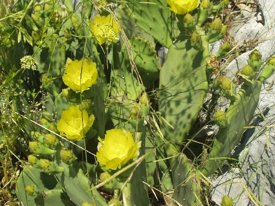 Grebastica, Croatia: cactus in bloom