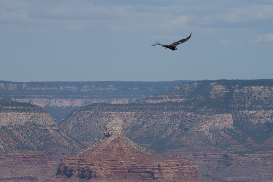 Touch the Southwest: A condor soars over the Grand Canyon.