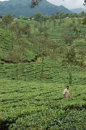 Vismayagiri Homestay : Plantation's
