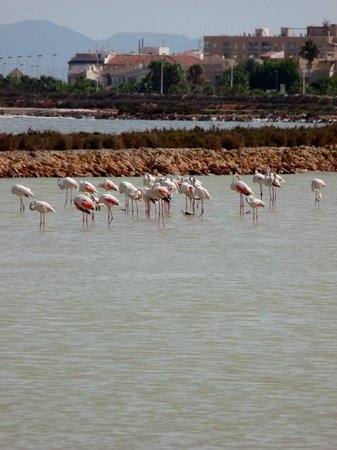 San Pedro del Pinatar, İspanya: Flamingos in the salt marshes