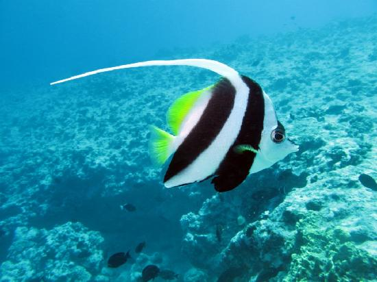 Pretty fish picture of bora bora society islands for Bora bora fish