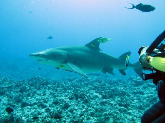Bora Bora Pearl Beach Resort & Spa: Lemon Shark
