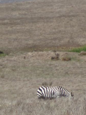 San Simeon State Park: Zebra