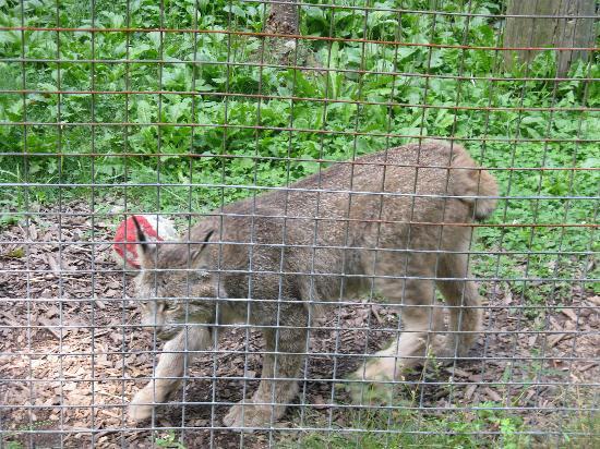 London, Kanada: lynx