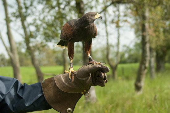 Loch Lomond Bird of Prey Centre: Coco The Harris Hawk