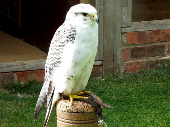 Newent, UK: Hybrid Falcon