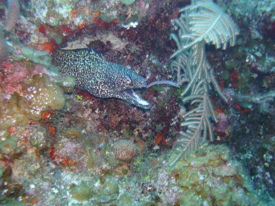 Oasis Divers: Brown spotted eel