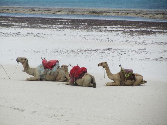 Baobab Beach Resort & Spa: Camels on the beach