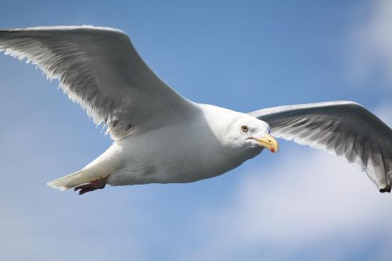 Oak Bluffs Inn : Seagull