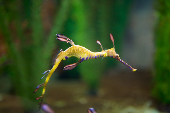 Beauty Point, Австралия: Weedy seadragon at Seahorse World