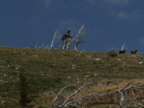 The Great Bear Inn: Bears on ridge above Many Glacier Lodge