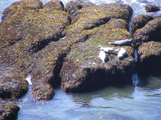 Yaquina Head Outstanding Natural Area: Harbor Seal at Quarry Cove