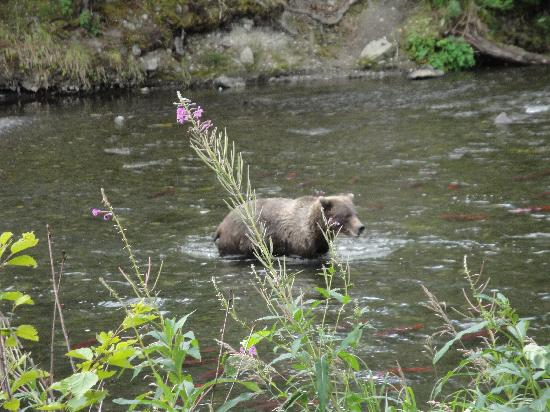 bears on the Russian river