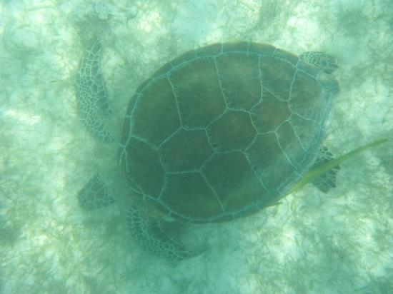 Secrets Maroma Beach Riviera Cancun: Snorkeling wth Sea Turtles