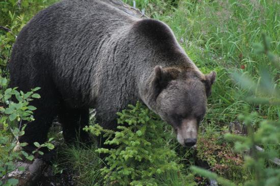 Eagle's Eye Restaurant - Kicking Horse Mountain Resort: Boo at home - grizzly bear refuge