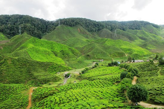 Cameron Bharat Tea Plantation