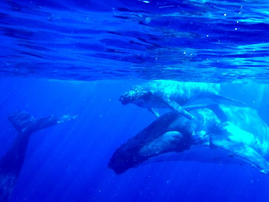 Whale Discoveries: Mother, calf and escort Humpback whales