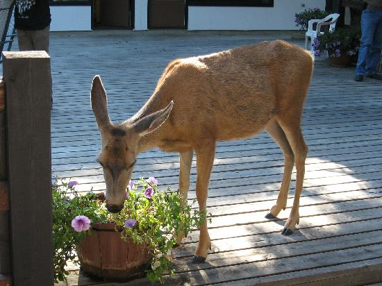 Bumpers Inn: deer in inner courtyard...jumped gate to eat petunias