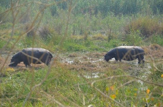Linyanti Bush Camp: Hippos right outside my tent!