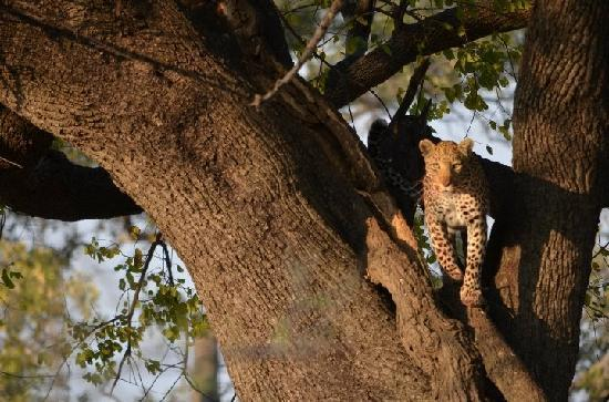 Linyanti Bush Camp: Amazing leopard sighting