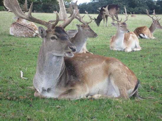 The Exeter Arms: Deer at Burghley House
