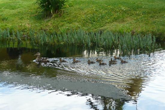 Nelson's Duckpond: baby ducks