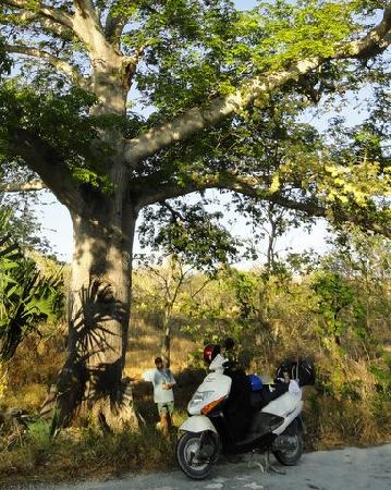 Ernesto's Rental: This is the HUGE La Ceiba tree, south end of island that was saved when the new road went in.  A