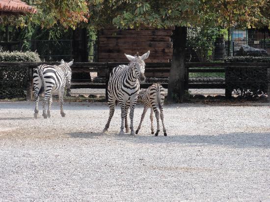 Parco Faunistico le Cornelle: zebra con bebè