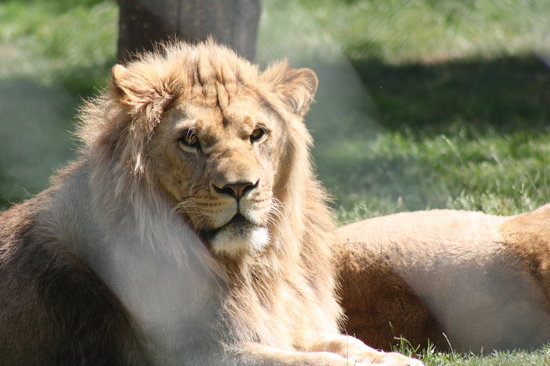 Pleugueneuc, France: lion blanc le zoo