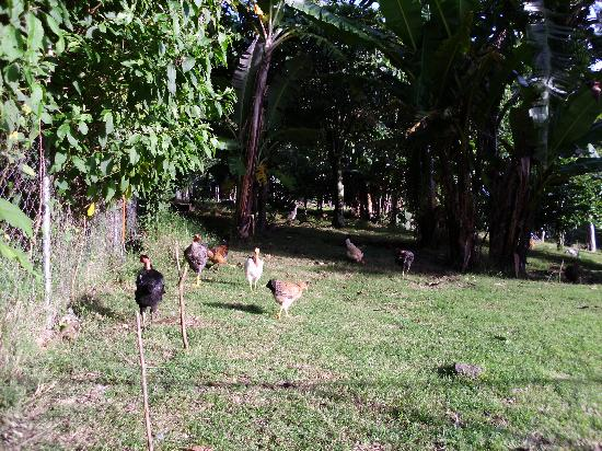 Casa Pedro: View of backyard, chickens and coffee plants!