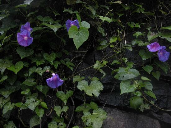 Mundax Homestay Yoga Retreat: Morning glories in the garden