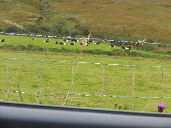 Moan Laur B&B: banded cows that live nearby