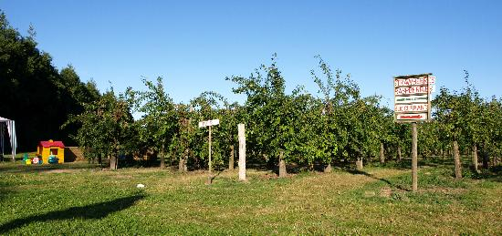 Pembury, UK: Plum trees