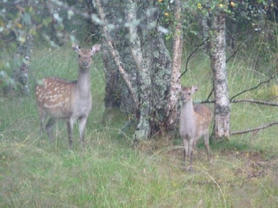 Torcroft Lodges: Deer - picture taken from the kitchen window