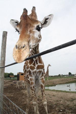 African Safari Wildlife Park: Giraffe