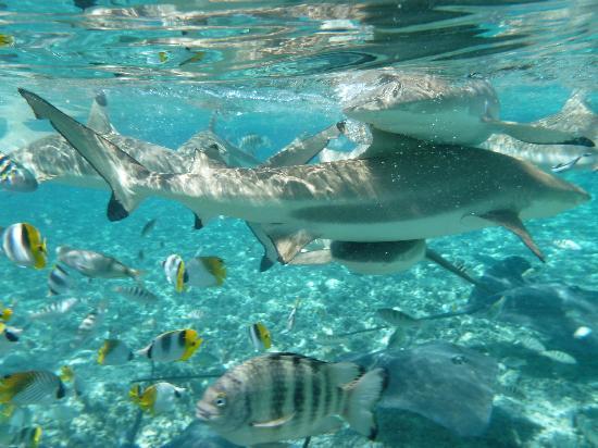 Bora Bora Pearl Beach Resort & Spa: Shark feeding tour