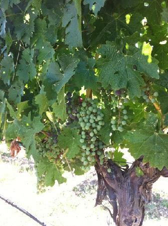 Arger-Martucci Vineyards: ready for harvest