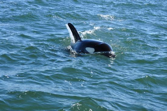 Orcas Island Eclipse Charters: whales were coming real close to the boat.
