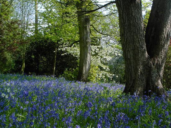 The Hill Cottage: bluebells in the wood