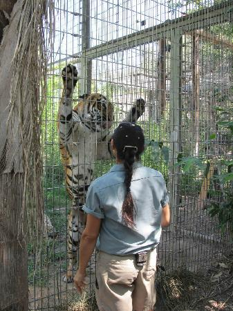 Fresno Chaffee Zoo: Tiger in Zoo