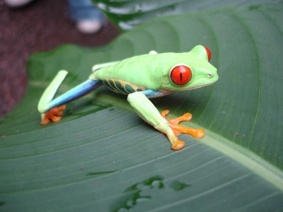 Vara Blanca, Costa Rica: Red Eyed Tree Frog