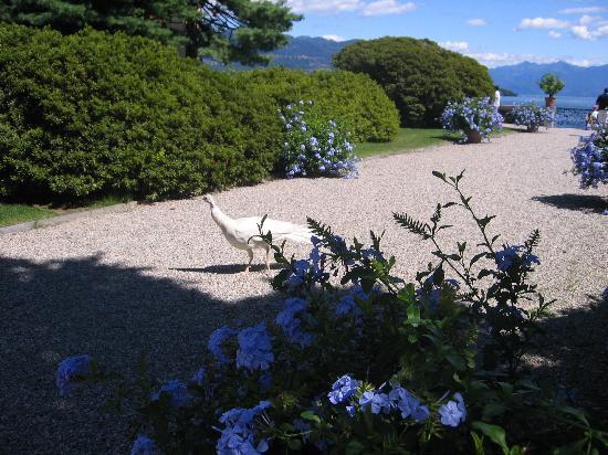 Maggiore-søen, Italien: un pavone nei giardini
