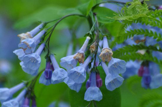 Framingham, MA: Bluebells